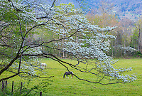 Great Smoky Mountains National Park, TN/NC: Blossoming dogwood tree frames horses grazing in Cades Cove in early spring
