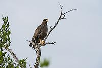 An adult Cuban Black Hawk (Buteogallus gundlachii), perched, in Las Salinas Wildlife Refuge, Zapata Peninsula, Cuba.