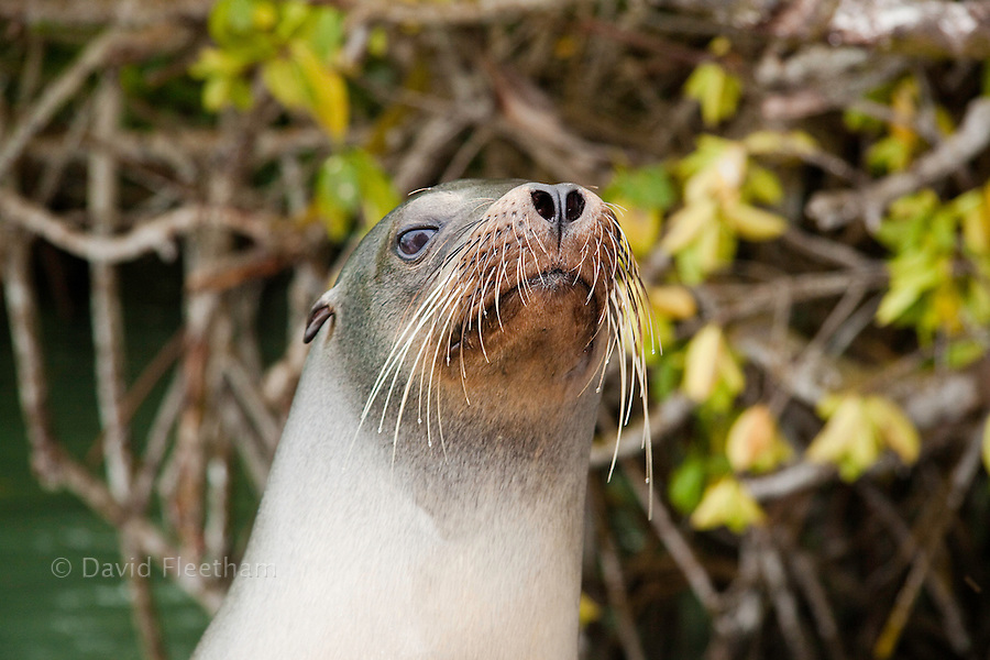 A Galapagos sea lion, Zalophus californianus wollebacki, with mangroves in the background, Santa Cruz Island, Galapagos Archipelago, Ecuador.
