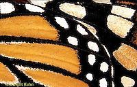 MO05-002b   Monarch Butterfly - close-up of wing - Danaus plexippus