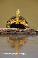 02536-00115 Red-eared Slider (Trachemys scripta elegans) on log Starr Co. TX
