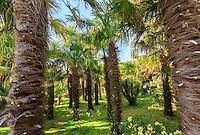 France, Manche (50), Vauville, Jardin botanique du château de Vauville, palmeraie à palmiers de Chine (Trachycarpus fortunei)