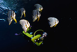 East Indonesia, Raja Ampat, diver swimming with school of  Tiera Batfish, Platax teira
