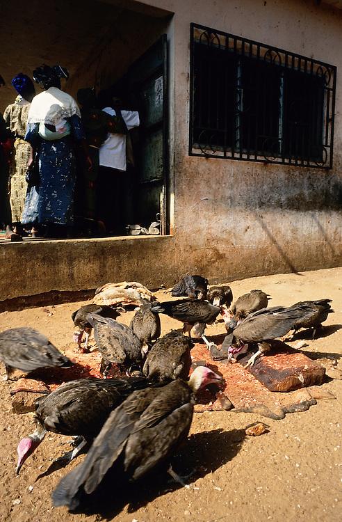 Natitingou, Benin. Les vautours charognards - Necrosyrtes Monachus - autour de la boucherie du marche. . .Natitingou, Benin. Hooded vultures - Necrosyrtes Monachus -around the butcher's shop. . .Natitingou, Benin. Kappengeier - Necrosyrtes Monachus - in der Nahe der Metzgerei.