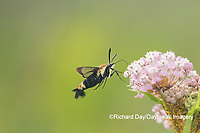 04005-00405 Snowberry Clearwing (Hemaris diffinis) on Swamp Milkweed (Asclepias incarnata) Marion Co. IL