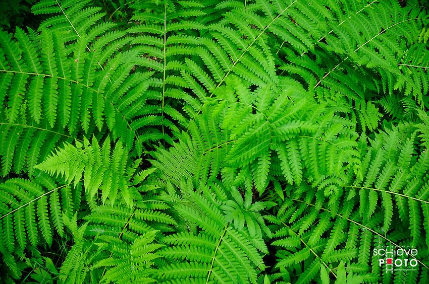 Northern Wisconsin Ferns.