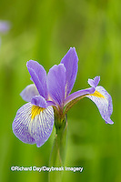 63899-05309 Blue Flag Iris (Iris versicolor) in wetland, Marion Co., IL