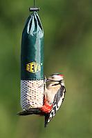 Buntspecht an der Vogelfütterung, Erdnusskerne, Bunt-Specht Specht, Spechte, Dendrocopos major, Great Spotted Woodpecker, Woodpeckers. Pic épeiche. Ganzjahresfütterung, Vögel füttern im ganzen Jahr, Vogelfutter der Firma GEVO