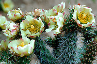 Detail of Cholla cactus (Cylindropuntia) flowers in spring. Arizona.