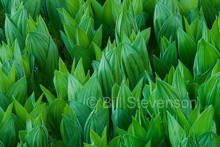 A closeup image of false hellebore (Veratrum viride)in spring.