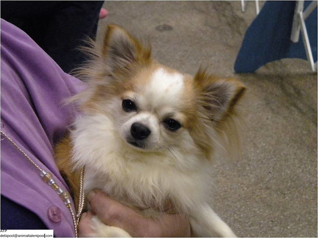 Chihuahua Squirt dob 2008