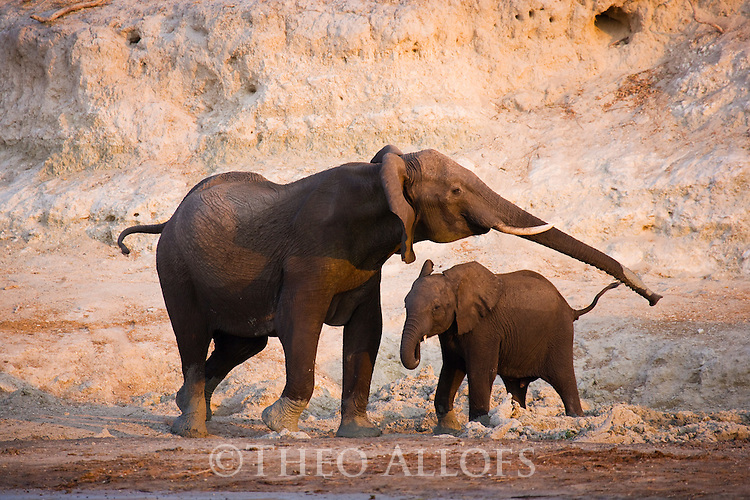 Elephant mother and calf in front of white clay bank at Chobe River, Botswana