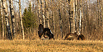 Tom turkey strutting for hens in northern Wisconsin