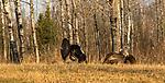 Tom turkey strutting for hens in northern Wisconsin