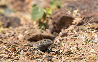 Sonoran Tiger Whiptail, Aspidoscelis tigris punctilinealis, emerges from a burrow in the Desert Botanical Garden, Phoenix, Arizona