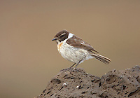 Canary Islands Stonechat - Saxicola dacotiae - male