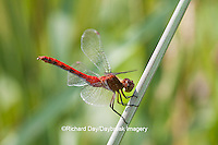 06663-001.17 Ruby Meadowhawk (Sympetrum rubicundulum) male perched near wetland, Cook Co., IL