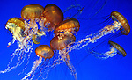 MONTEREY BAY, CA - FEBRUARY 11: A group of Sea Nettle Jellyfish float around at the Monterey Bay Aquarium on February 11, 2007 in Monterey Bay, California. Sea Nettle are most commonly found on the east coast of North America in the Atlantic Ocean. (Photo by: Donald Miralle)