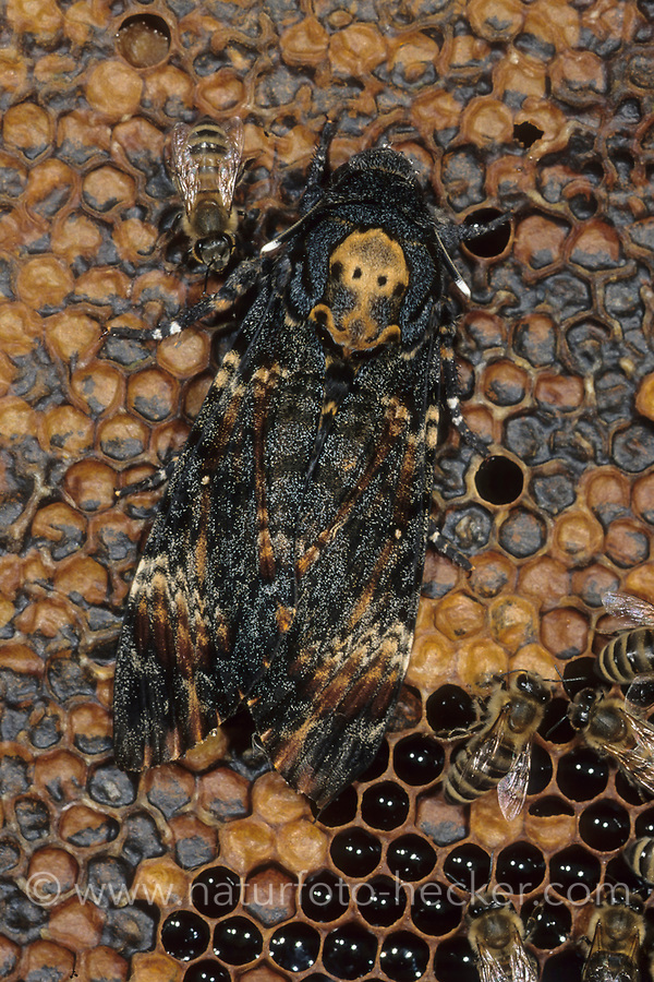 Totenkopfschwärmer, Totenkopf-Schwärmer, Falter auf Bienenwaben, Honigbiene, Honigbienen, Acherontia atropos, Death's-head Hawk moth, Le Sphinx tête de mort, Schwärmer, Sphingidae, hawkmoths, hawk moths, sphinx moths, sphinx moth, hawk-moths, hawkmoth