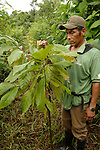 A Mayan farmer  inspects his young cacao tree in a rainforest in southern Belize.  The region is the heartland for traditional Mayan cacao production.  Cacao is one of the few cash crops for farmers in southern Belize.  With high global demand,   Cadbury's pays farmers premium prices