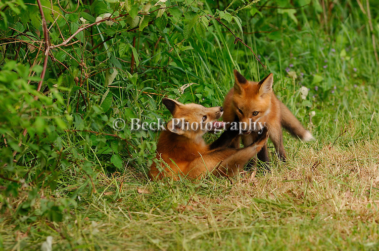 Two red fox pups play in the morning sun near their den.
