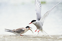 A juvenile Arctic tern feeds on a rainbow trout parr delivered by its mother after begging from a dock on Sport Lake near Soldotna, Alaska.