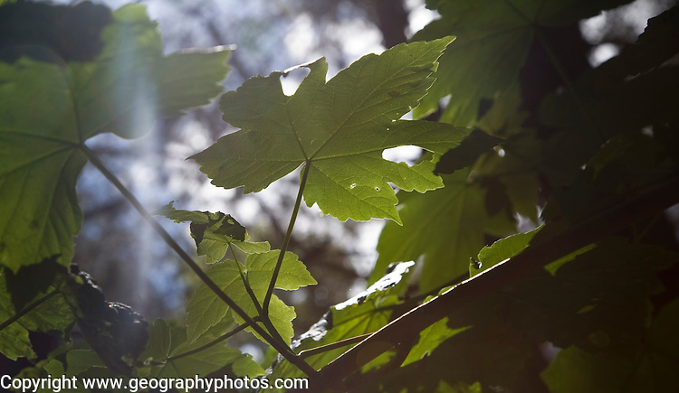 Sunlight shining through young sycamore tree leaves illustrating the process of photosynthesis, UK