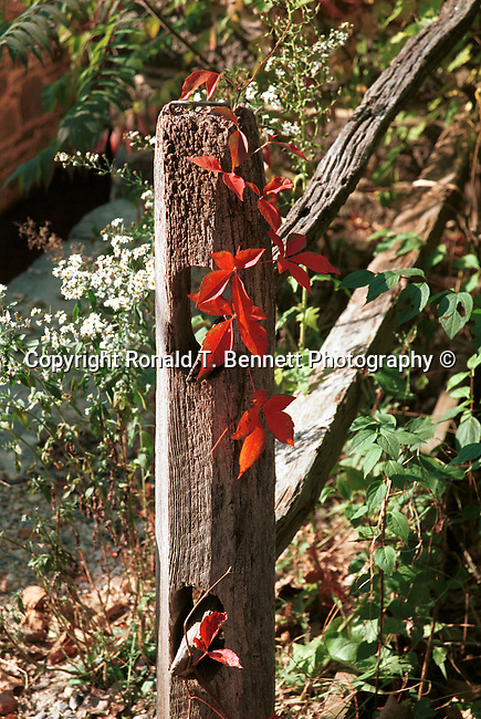 Red poison ivy growing on fence post Virginia, Fine Art Photography by Ron Bennett, Fine Art, Fine Art photography, Art Photography, Copyright RonBennettPhotography.com ©