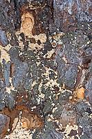 Blaue Holzbiene, Blauschwarze Holzbiene, Nest im Holz, Große Holzbiene, Xylocopa violacea, Violet carpenter bee, Indian Bhanvra
