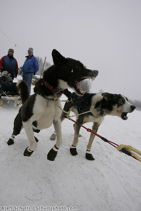 "Brian Mills' wheel dogs ""Ebony"" & ""Jack""  bark and lunge to go after a 24 hour rest at the Tokotna checkpoint.  2005 Iditarod Trail Sled Dog Race."