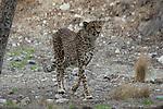 cheetah jogging