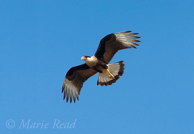 Crested Caracara (Caracara cheriway) in flight, Martin Refuge, Rio Grande Valley, Texas, USA