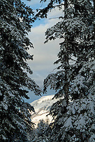 Snow-covered fir trees and mountains near Chabanon, French Alps, France.