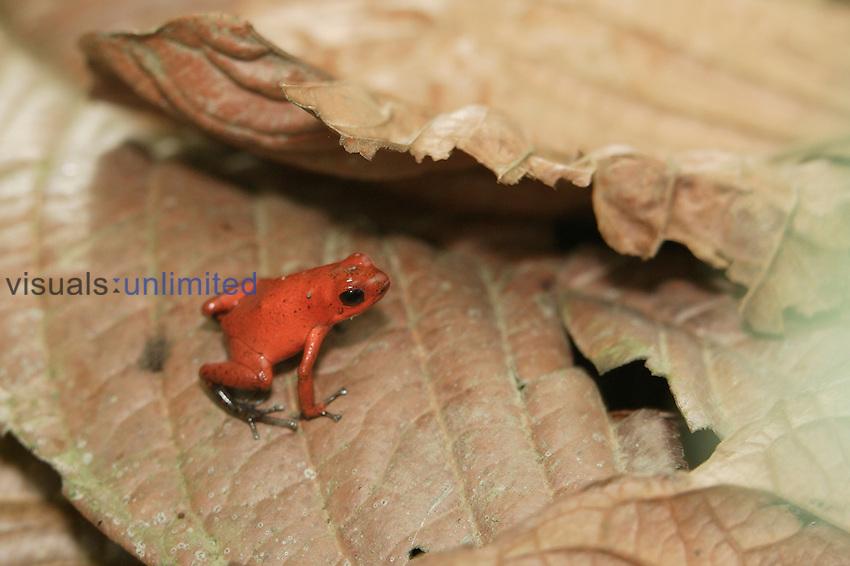 Strawberry Poison Dart Frog ,Dendrobates pumilio,.