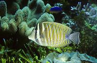 Indischer Segelflossendoktor, Indischer Segelflosser, Segelflossen-Doktorfisch, Westlicher Fledermaus-Segeldoktorfisch, Doktorfisch, Zebrasoma desjardinii, Zebrasoma desjardini, Desjardini Sailfin Tang, Dejardin's Sailfin Tang, Red Sea Sailfin Tang, Indian Sailfin Surgeonfish