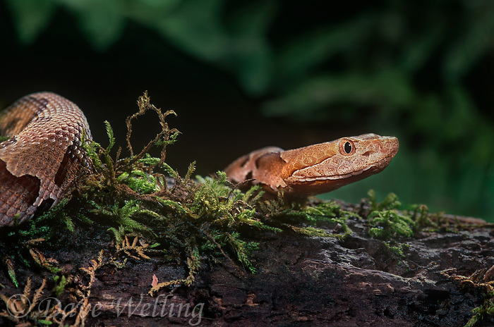 414414007 a captive northern copperhead agkistrodon contortrix lays coiled on a sphagnum covered log - species is native to the eastern and southeastern united states