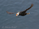 Tufted Puffin (Fratercula cirrhata) in flight carrying multiple fish in its bill for its young, St. Paul Island, Pribilofs, Alaska, USA