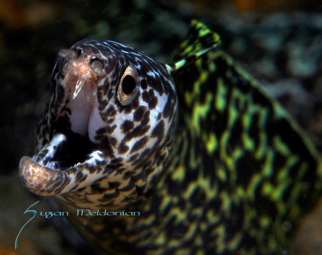 Purple Mouth Moray Eel, Gymnothorax vicinus