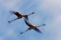 Greater Flamingos (Phoenicopterus roseus) in flight, motion blur, .Camargue, France