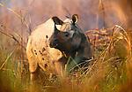 Indian rhinoceros, Royal Chitwan National Park, Nepal
