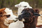 20120414 Llamas and Alpacas