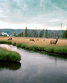 USA, Wyoming, elk grazing in field by Firehole River, Yellowstone National Park