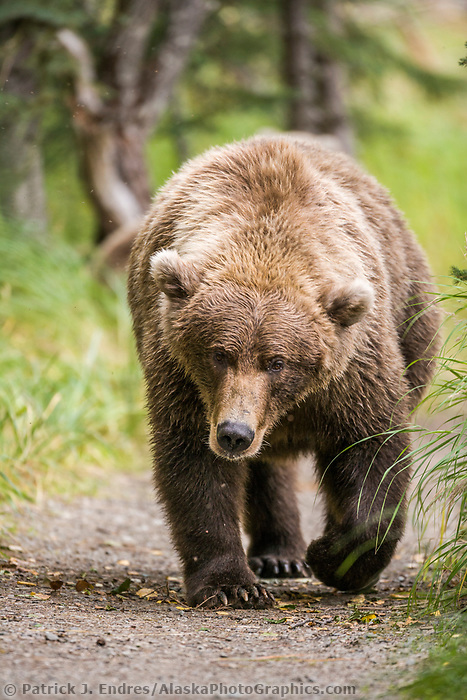 Brown bear walks along a path, Katmai National Park, southwest, Alaska.