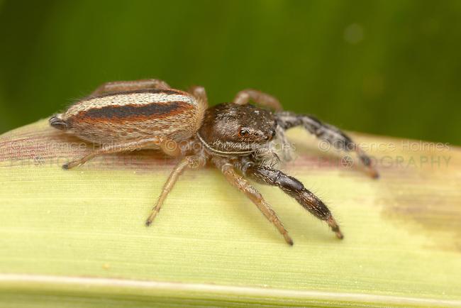 Jumping Spider (Marpissa formosa) - Female, Ward Pound Ridge Reservation, Cross River, Westchester County, New York