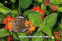 03411-011.04 Common Buckeye (Junonia coenia) on Red Spread Lantana (Lantana camara)  Marion Co. IL