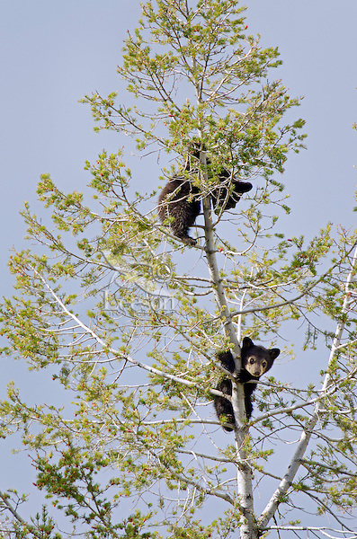 Two wild Black Bear (Ursus americanus) cubs find safety while napping in the top of an evergreen tree.  Western U.S., Spring.