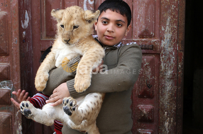 The grandson of Palestinian refugee Saad Eldeen Al-Jamal plays with his two African lion cubs outside his house at Al-Shabora refugee camp in Rafah in the southern Gaza Strip March 19, 2015. Al-Jamal has eventually achieved his dream of raising lions at home after acquiring the two cubs, whose parents are believed to have been smuggled into Gaza through a tunnel along the border with Egypt nearly three years ago. His family have named the female cub Mona, an Arab name, while the male lion was named Alex. Photo by Abed Rahim Khatib