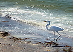 Great egret on shores of Casey Key, Florida