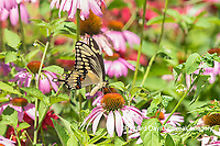 03017-01515 Giant Swallowtail (Papilio cresphontes) on Purple Coneflower (Echinacea purpurea) Marion Co. IL