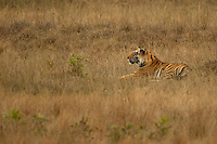 Tiger male (Panthera tigris tigris), resting, Bandhavgarh National Park, India, February 2013